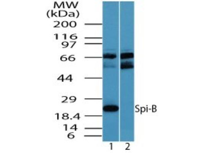 Spi-B Antibody