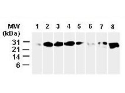 Bcl-xL Antibody