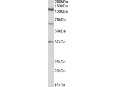 Goat Polyclonal CCP110 Antibody