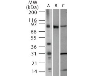 Human, Mouse TLR2 antibody