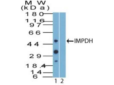 Rabbit Polyclonal IMP Dehydrogenase 2 / IMPDH2 Antibody
