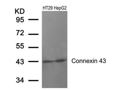 Connexin 43 / GJA1 Antibody