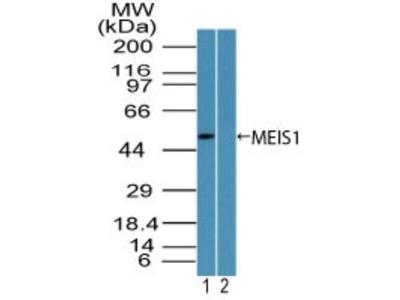 MEIS1 Antibody