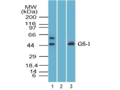 GFI-1 Antibody