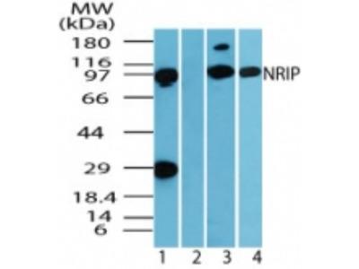 Rabbit Polyclonal NRIP Antibody