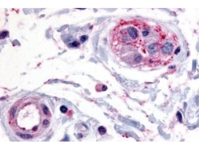 PTP epsilon Antibody