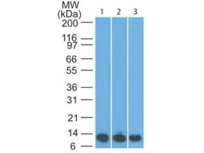 S100A8 Antibody (63N13G5)