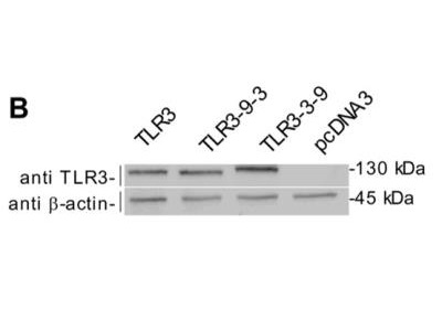 Mouse Monoclonal TLR3 Antibody