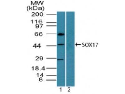 Rabbit Polyclonal SOX17 Antibody