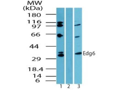 S1P4 / EDG-6 Antibody