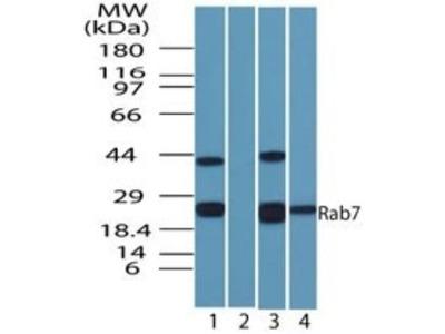 Rab7a Antibody