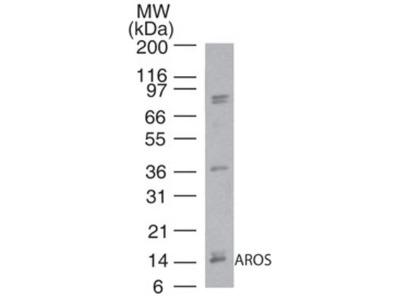 Rabbit Polyclonal RPS19BP1 Antibody
