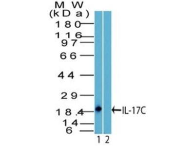 IL-17C Antibody