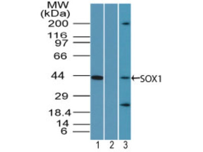 SOX1 Antibody