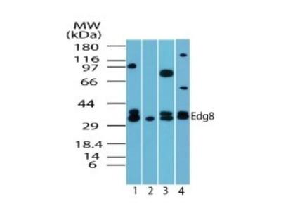 S1P5 / EDG-8 Antibody
