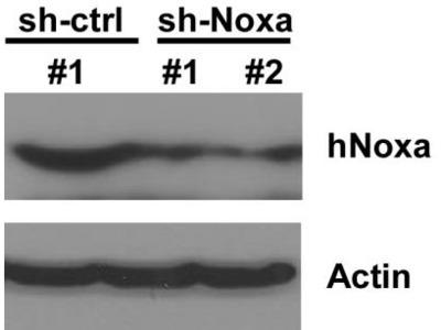 Noxa Antibody