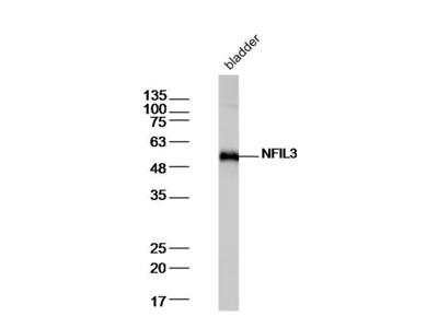 NFIL3 Antibody