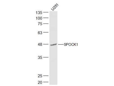 SPOCK1/Testican 1 Antibody, Biotin Conjugated