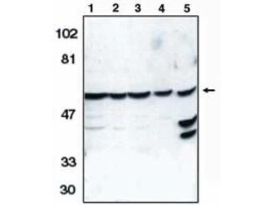Caspase 10 Polyclonal Antibody