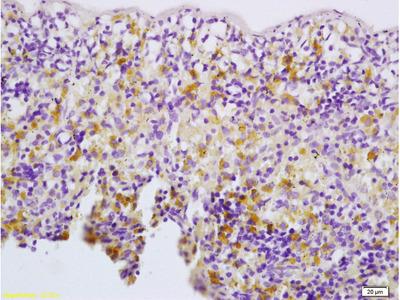 Thrombopoietin Polyclonal Antibody