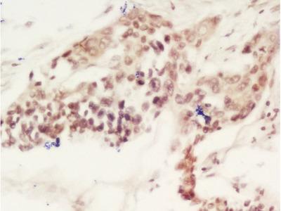 CEBP gamma Antibody