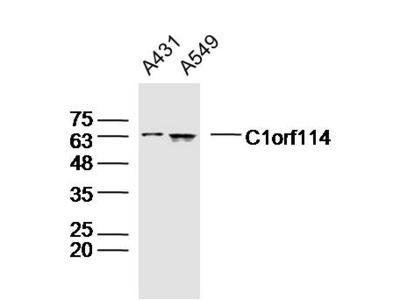 C1orf114 Antibody, ALEXA FLUOR® 350 Conjugated