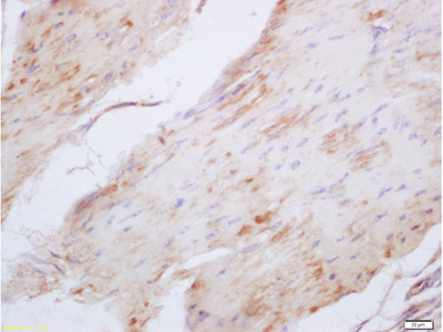 Elastin Antibody