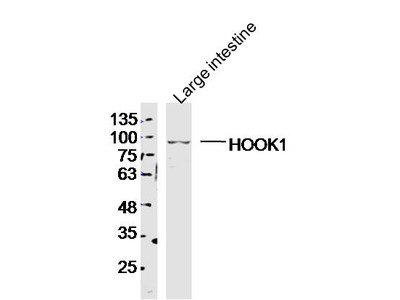 HOOK1 Antibody