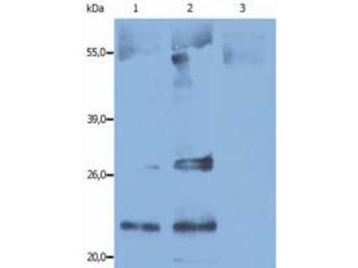 CD9 Antibody