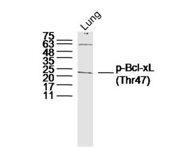 Bcl-xL/BCL2L1(Thr47) Antibody