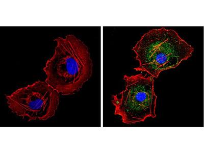 CYP1A1/CYP1A2 Monoclonal Antibody (MC1)