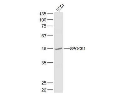 SPOCK1/Testican 1 Antibody