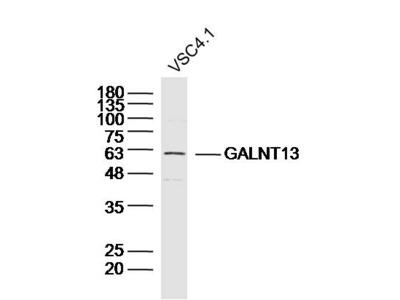 GALNT13/GalNAc-T13 Antibody