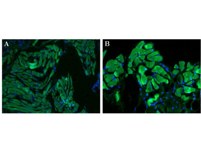 Ly-6G/Ly-6C Monoclonal Antibody (RB6-8C5)