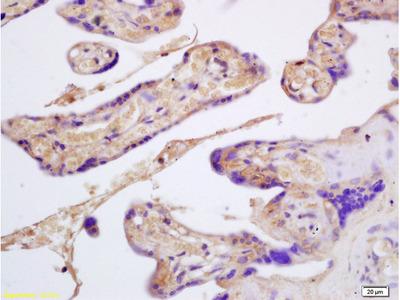Glycophorin B Antibody, ALEXA FLUOR® 488 Conjugated
