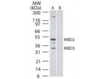 MBD3 Monoclonal Antibody (106B691)