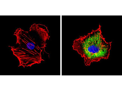 CYP1A2 Monoclonal Antibody (3B8C1)