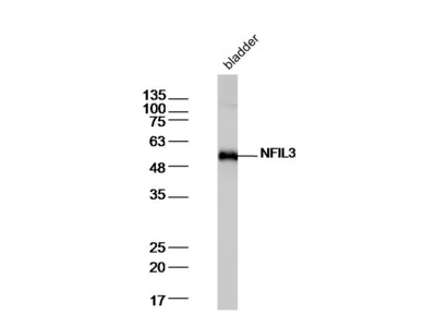 NFIL3 Antibody, Biotin Conjugated