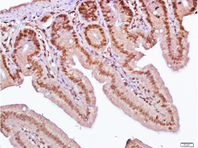 SLC38A2/SNAT2 Antibody, Biotin Conjugated