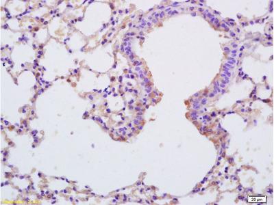 SP-C Antibody