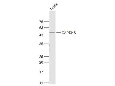 GAPDHS/GAPDH2 Antibody, Biotin Conjugated