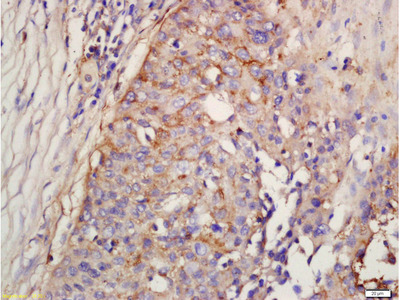 Factor D/Adipsin Antibody, ALEXA FLUOR® 350 Conjugated