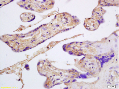 Glycophorin B Antibody