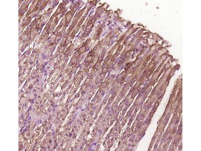 BBS8/TTC8 Antibody, Biotin Conjugated