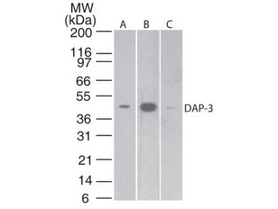 DAP3 Monoclonal Antibody (42C617.1.2)