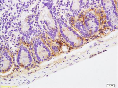 POD1 Antibody, Biotin Conjugated