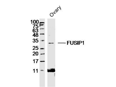 FUSIP1 Antibody, ALEXA FLUOR® 350 Conjugated