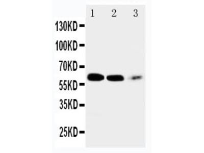 Anti-EAAT4 Antibody