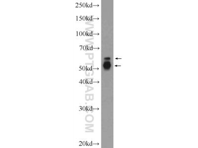 PAG1 Polyclonal Antibody