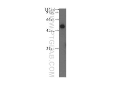 CBLC antibody